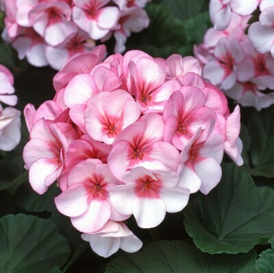 Geranium Horizon Star (Tray of six plants)