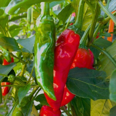 Chimayo Chile Seeds