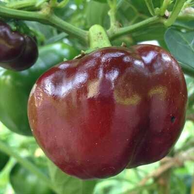 Chocolate Beauty Pepper Seeds