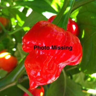 Bull Nose Bell Heirloom Chile Seeds