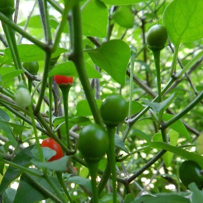 Chiltepin Chile Seeds