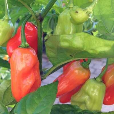 Hinkelhatz Pepper Seeds