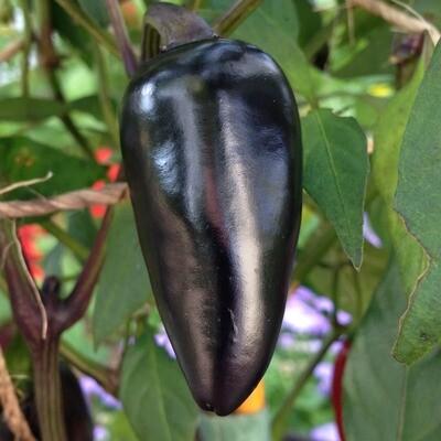 Black Hungarian Pepper Seeds