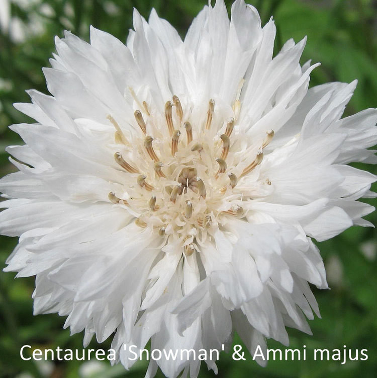 Centaurea 'Snowman' & Ammi majus
