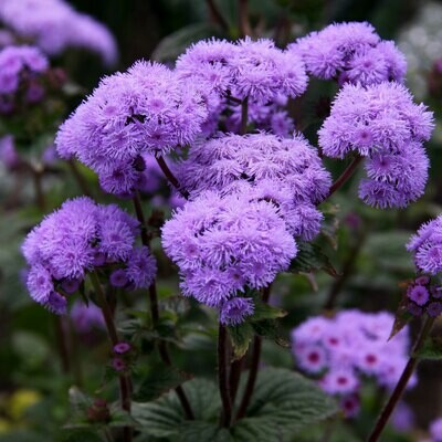 Ageratum Mixed Seeds