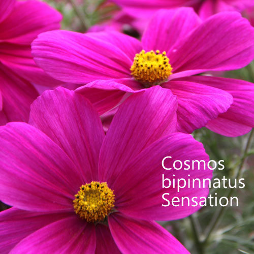 Cosmos bipinnatus Sensation Mixed