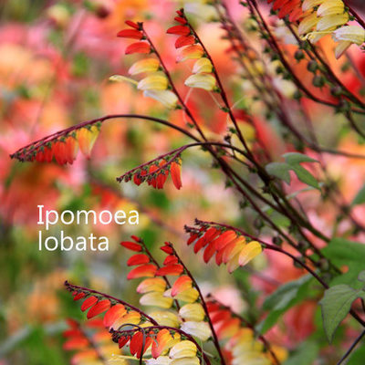 Ipomoea lobata 'Exotic Love'