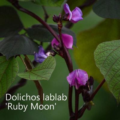 Dolichos lablab 'Ruby Moon'