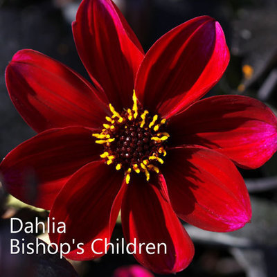 Dahlia Bishop's Children