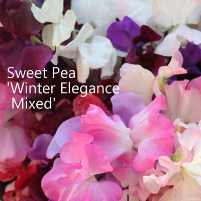 Sweet Peas 'Winter Elegance Mixed'