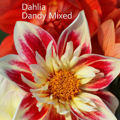 Dahlia Dandy Mixed