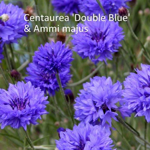 Centaurea 'Double Blue' & Ammi majus