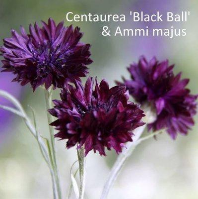 Centaurea 'Black Ball' & Ammi majus