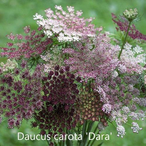 Daucus carota Dara
