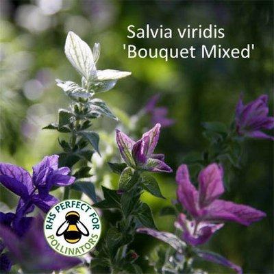 Salvia viridis Bouquet Mixed