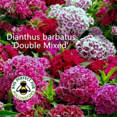 Dianthus barbatus 'Double Mixed'
