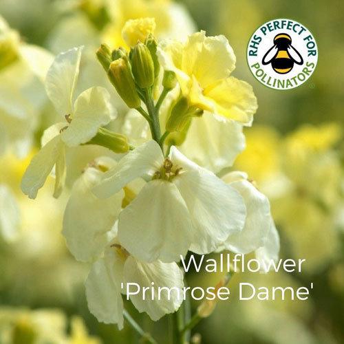 Wallflower 'Primrose Dame'