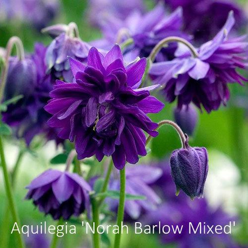 Aquilegia Barlow Mixed