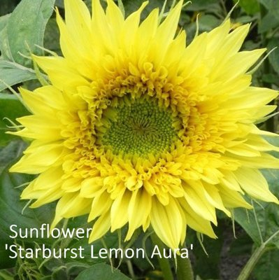 Helianthus F1 'Starburst Lemon Aura'