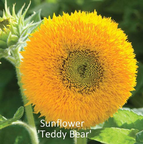 Helianthus 'Teddy Bear'