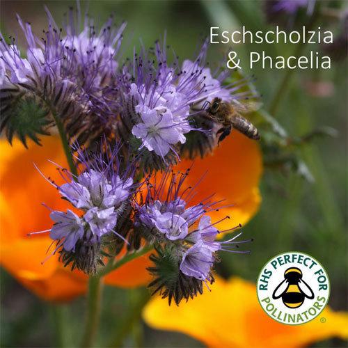 Eschscholzia californica & Phacelia tanacetifolia