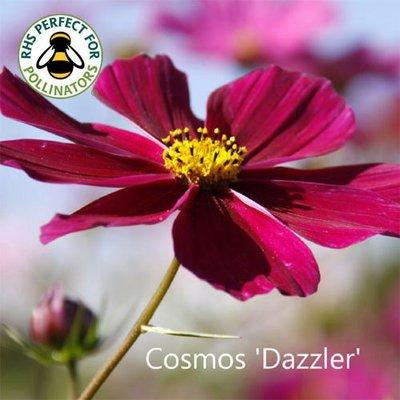 Cosmos bipinnatus 'Dazzler'