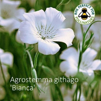 Agrostemma githago 'Bianca'