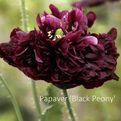 Papaver paeoniflorum 'Black Peony'