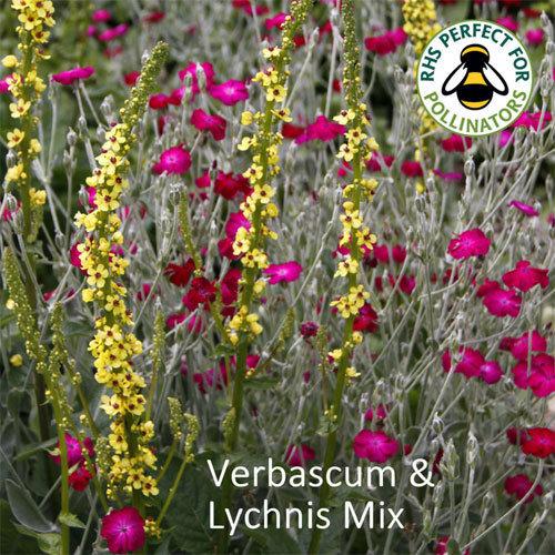 Verbascum nigrum and Lychnis coronaria