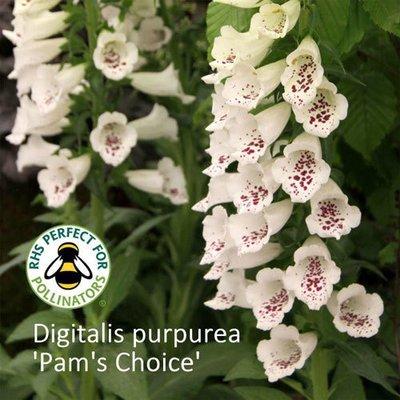 Digitalis purpurea 'Pam's Choice'