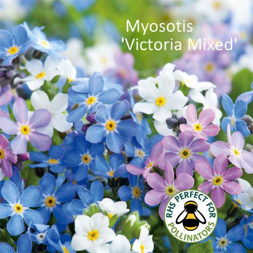 Myosotis 'Victoria Mixed'
