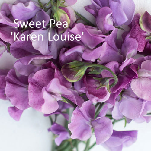 Sweet Pea 'Karen Louise'
