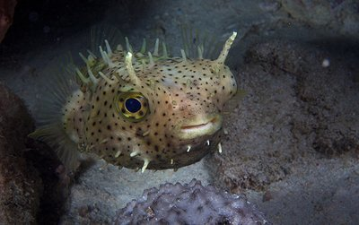 Pufferfish at night, Exumas, Bahamas