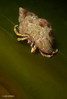 Eremit Crab