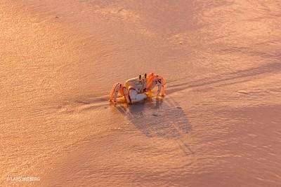 Jesus Crab, Quirimbas