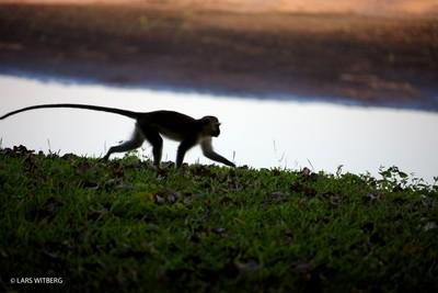Monkey in sunset, Africa