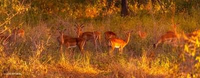 Impalas, Niassa, Africa