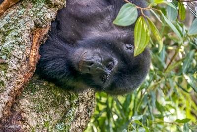 Mountain gorilla, Uganda