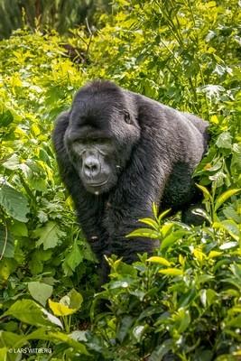 Mountain gorilla, Uganda, Africa