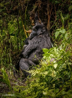Mother and child mountain gorilla