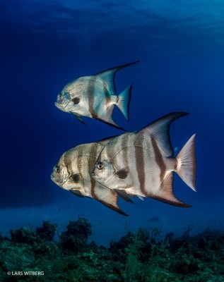 Bat fish, Bahamas