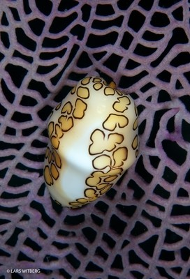 Flamingo tongue, Exumas, Bahamas