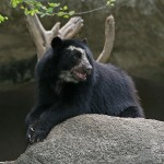 800px-Spectacled_Bear_Barquisimeto-150x150