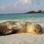 Galapagos_Seelöwe