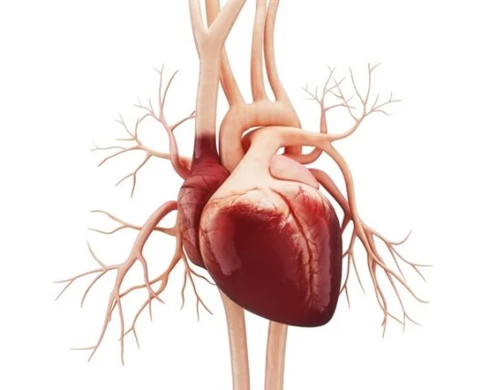 Limiting the release of fat into the bloodstream during heart failure could help improve outcomes