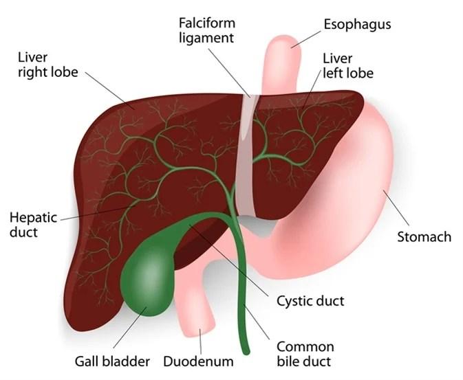 Human liver anatomy.  Image Credit: Designua/Shutterstock