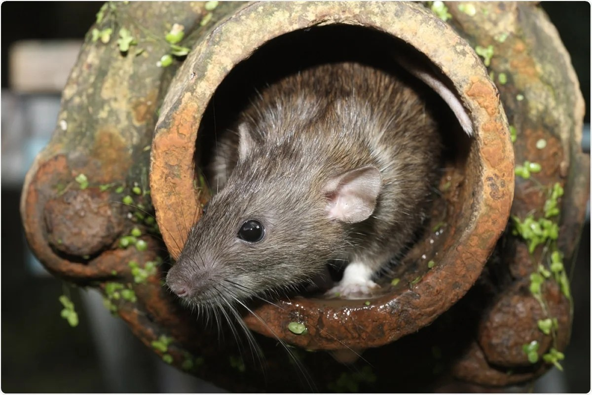 Study suggests sewer rats protected from SARS-CoV-2