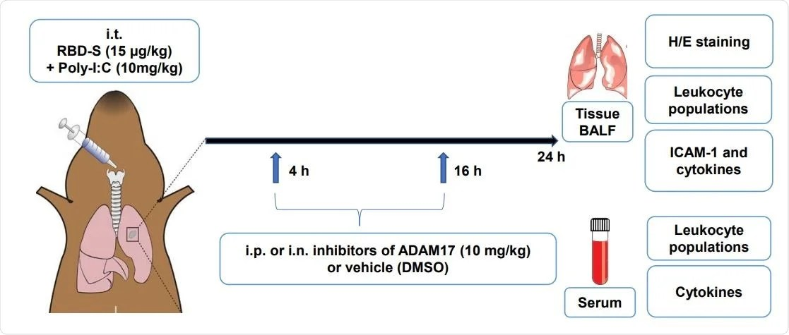 Experimental evidence that inhibition of ADAM17 prevents severe COVID-19