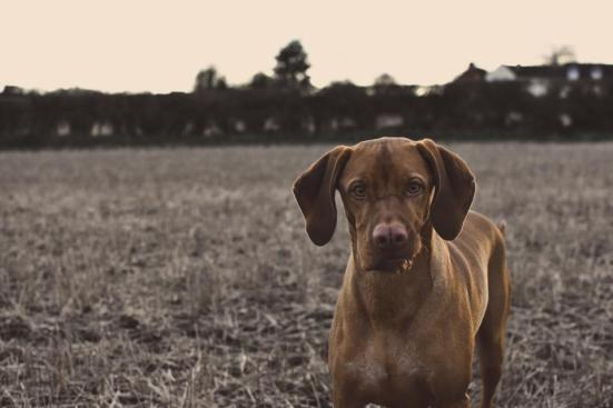 animals dogs domesticated pets eyes muzzle curious outdoors run walk grass houses residential park trees bokeh sepia