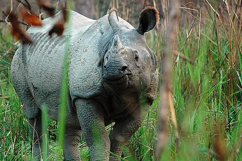 Image result for greater one horned rhino